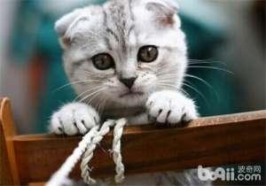 公猫也有繁殖障碍-猫咪繁殖